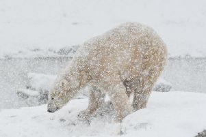 Polar bears are revelling in the snow at Yorkshire Wildlife Park