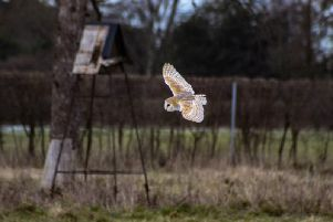 A barn owl searches for prey during a farmland fly-by. Picture: Game and Wildlife Conservation Trust.