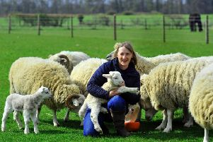 Debbie Wardell of Ryedale Rare and Native Breeds near Pickering with a new born Whitefaced Woodland lamb and ewes.