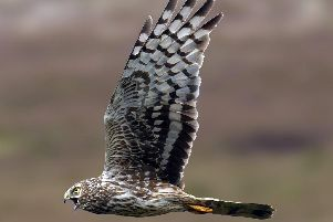 A female hen harrier in flight.'Photograph: North Yorkshire Police