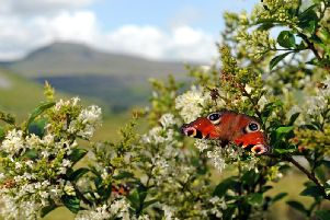 This week's Picture Post shows a colourful Peacock butterfly close to Ingleborough.''Technical details: Shot on a Nikon D3s camera, 24-70mm lens with an exposure of 1/320th @f11, 400ISO. Photo: Tony Johnson