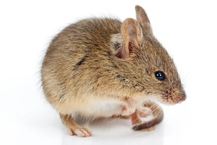 National trade body the BPCA has issued a series of tips to prevent mice getting into homes.