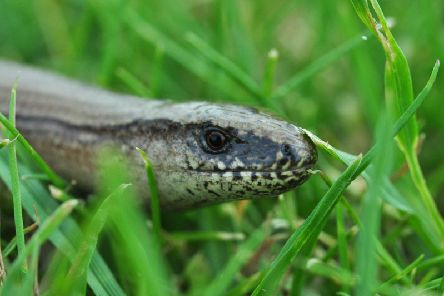 They look like snakes and act like snakes, but slow worms are actually a type of native legless lizard.''Varying in colour from grey to brown to bronze, they can be spotted if you see it blink, because snakes dont have eyelids like lizards do.''Slow worms are significantly less withdrawn than British snake species and can frequently be found in back gardens up and down the UK.