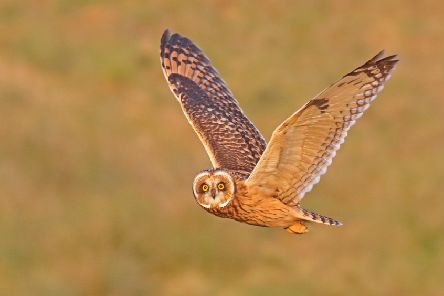 Andy Gregory captured this magnificent close-up of a short-eared owl.