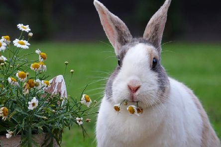Derbyshire pet owners urged to protect their rabbits against fatal disease sweeping the country. Photo: Pixabay