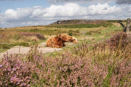 Highland cattle looking well at home amidst the blooming heather of Baslow Edge in the Derbyshire Peak District sent in by Michael Hardy.