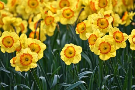 Fields of daffodils may be off limits