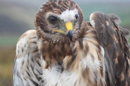 Bowland was home to the majority of hen harrier chicks born in England back in 2007