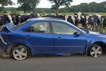 Even the cows were surprised at the state of this damaged car