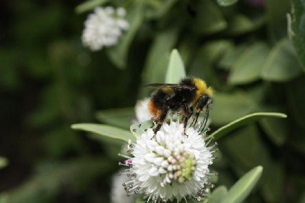 Bumblebee enjoying time on a garden flower Picture: Alan Wright