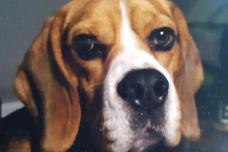 The missing Beagle named Ollie