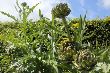 Artichoke crowns need protection. Picture by Tom Pattinson.