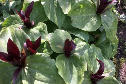 A gorgeous trillium for semi-shade. Picture by Tom Pattinson.