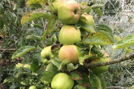 A small tree can yield some big apples. Picture by Tom Pattinson.