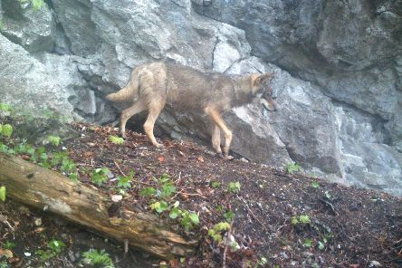 Wild wolf in the Carpathian Mountains.