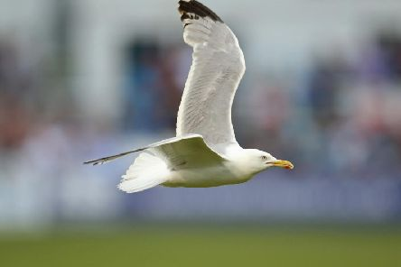 Seagull stock image. PIC: Getty