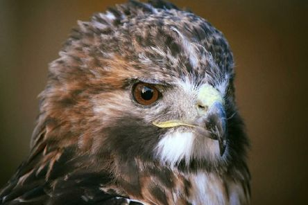 Buzzards are classed as schedule one under the Wildlife and Countryside Act 1981, which means it is an offence to even disturb the birds.