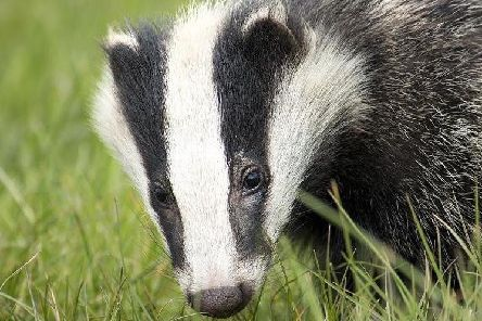 Police are appealing for information after a badger was found injured yesterday.