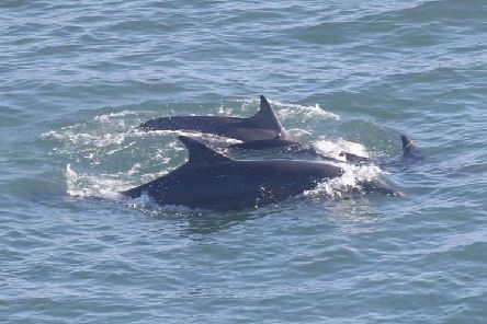 A pod (family) of Scottish dolphins were seen off Bridlington (Flamborough Bird Observatory)