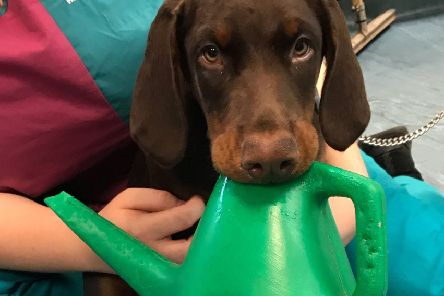 Doberman puppy Cassius who had a watering can  wedged in its mouth. 'PIC: PDSA/PA Wire