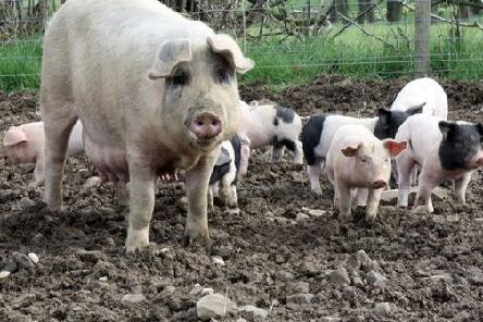 The pigs are based on a farm at the school