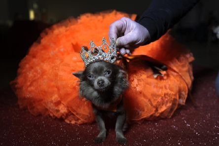 Mascot Chihuahua Genevieve at the Wetherby Dog Pageant in March. Photo by Simon Hulme.