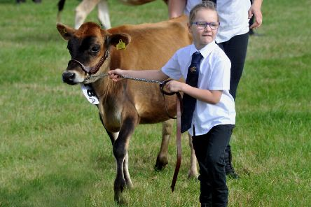 Faith Davidson, six, from Cleckheaton keeping her Jersey heifer, Ella, under control in a dairy class at Wensleydale show at Leyburn.