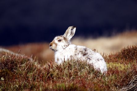 Mountain hares occur in small numbers in parts of Yorkshire but their main English stronghold is in Derbyshire. Picture: Moors for the Future Partnership.