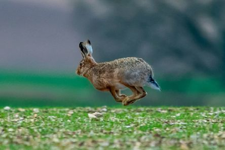 A Brown Hare makes it's escape as it runs, hops, and jumps over an arable field near Garton-0n-The-Wolds, East Yorkshire. Camera Details:  Camera Nikon D5 Lens, Nikon 300mm, with a Nikon 1.4 Teleconverter. Shutter Speed, 1/1000sec Aperture, f/5.6 ISO, 2000