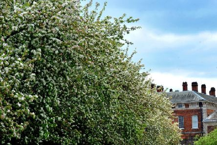 Crab apple tree blossom lining the avenue leading to Beningbrough Hall near York. Picture by Gary Longbottom.