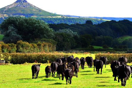 BEST OF BREEDS: Some of the Aderdeen Angus herd head across the fields at Treebridge Farm with Ropseberry Topping in the background.