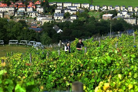 Tom Whitehouse and Ellie Smith among the vines at Holmfirth Vineyard