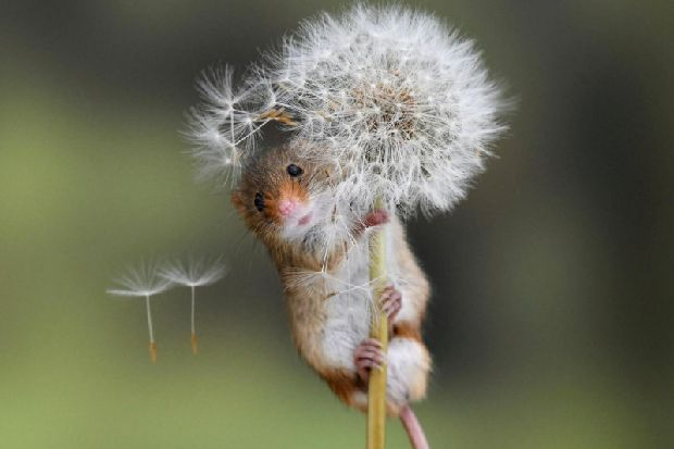 Moment adorable harvest mouse clung to dandelion stem for dear life captured by West Yorkshire photographer
