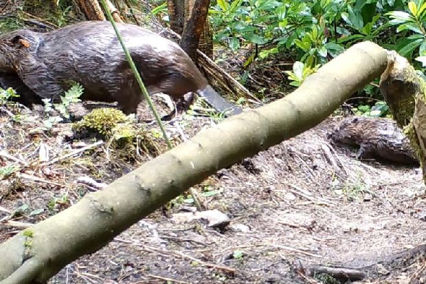 The first wild beavers to live in Yorkshire since the 16th century have had babies