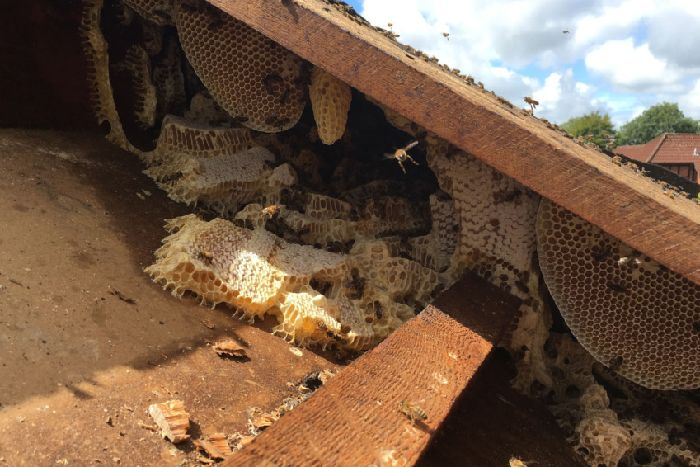Huge bee hive found as honey runs down hospital walls - Lancashire