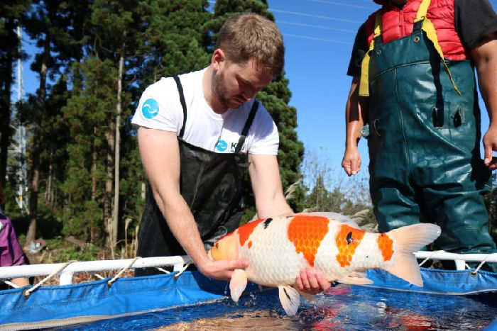 Koi, you! Carp import business takes off - Yorkshire Post