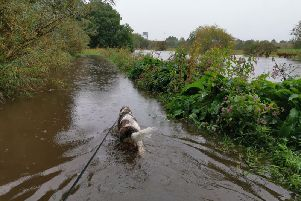 A dog enjoys a soggy morning walk as the River Calder bursts its banks in Wakefield. Photo: @b057