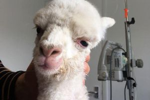 Julian Norton had another alpaca in the surgery this week.