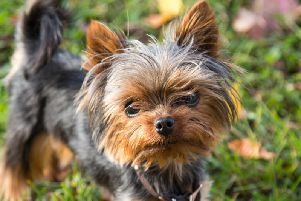 The popular Yorkshire Terrier takes the second spot