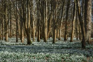Welford Park, the setting for the Great British Bake off, is famed for its snowdrop display. Picture: Julie Skelton.