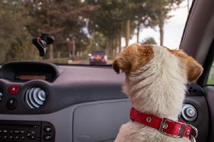 Pets are often considered an extension of the family, so they are regular vehicle passengers on the roads