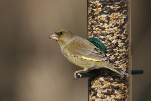 RSPB bird care product. Medium Premium seed feeder and feeder mix extra Greenfinch Carduelis chloris