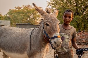 Working donkey in Botswana
