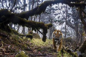 The photograph of a tiger will be in the exhibition