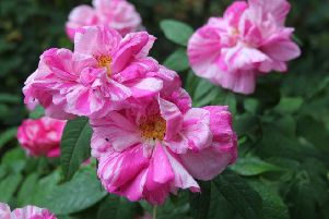 Thousands of varieties of rose exist. Picture by Tom Pattinson.