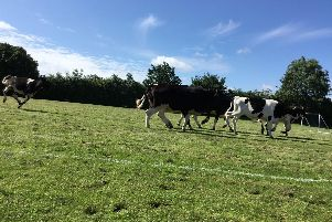 Going for goal - the cows thundered across the playing field after gaining access via a gap in a fence...