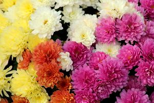 Big pollen producer, chrysanthemums help stretch the allergy season from spring, throughout summer and well into autumn too.