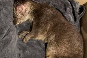 The injured otter found on Whalley Road