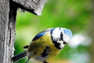 Blue tit. Photo by Marc Whitlock.