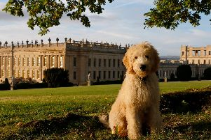 Henry, the Chatsworth goldendoodle  has amassed thousands of followers on his Instagram account.